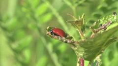 Red beetle bug donacinae Criocerinae insect macro, HD Stock Footage