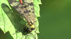 Scorpionfly eats fly, insect in grass HD Stock Footage