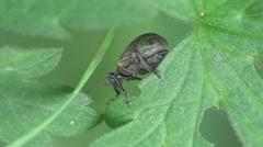 Weevil beetle macro forest HD Stock Footage