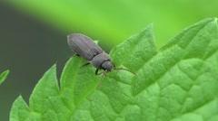 Bug beetle Buprestidae macro insect HD Stock Footage