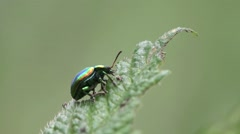 Green beetle Chrysomelinae macro insect HD Stock Footage