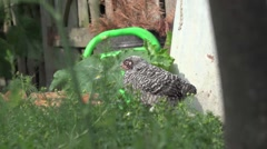Chickens on household, yard Ecology HD Stock Footage