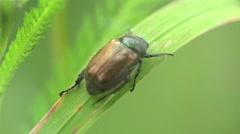 Braun beetle bug donacinae Criocerini insect macro, HD - stock footage