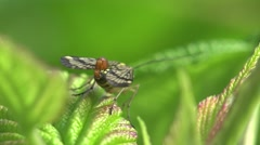 Scorpionfly insect grass HD Stock Footage