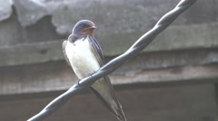 Swallow sitting on wire farm HD Stock Footage