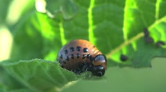 Larvae Colorado Potato beetle - agriculture pest, macro, HD Stock Footage