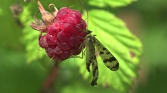 Scorpionfly sits in Red raspberries macro in wild forest HD Stock Footage