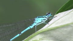Azure Damselfly dragonfly insect macro blue HD Stock Footage
