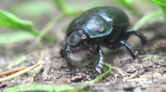 Black bug, insects beetle macro HD Stock Footage