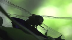 Contrast Darner dragonfly insect macro HD Stock Footage