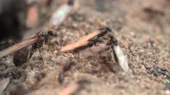Earthmoving ants with ant queens kicked, hd - stock footage
