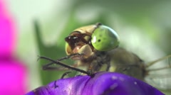 Head green Darner dragonfly insect macro hd - stock footage