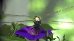 Green Darner dragonfly insect macro, HD Stock Footage