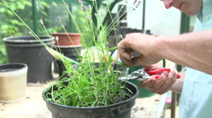 Slow Motion Shot Of Man Pruning Lavender Plant In Greenhouse Stock Footage