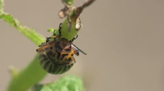 Colorado Potato beetle - agriculture pest, macro, HD Stock Footage