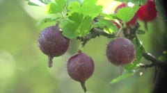 Red GooseBerry macro in wild forest HD Stock Footage
