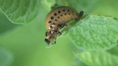 Larvae Colorado Potato beetle - agriculture pest, macro, HD Stock Footage