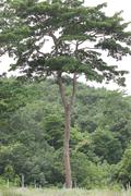 tree in the foothills. - stock photo