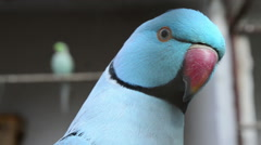 A Blue Ringneck Parakeet Watches the Camera Curiously Stock Footage