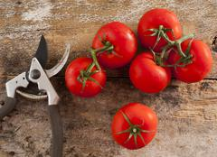 freshly picked home grown tomatoes - stock photo