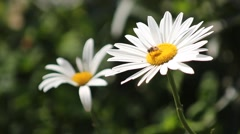 Bees gather honey in white daisies. Stock Footage