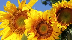 Three sunflowers Stock Footage
