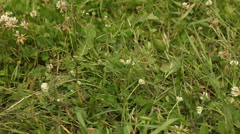 White clover flowers in field Stock Footage