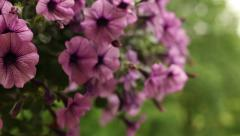 Petunia flowers in flowerpot hanging Stock Footage