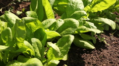 Spinach field in farm footage Stock Footage