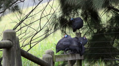 A Flock of Guinea Fowl Stand on A Fence and Clean Their Feathers Stock Footage