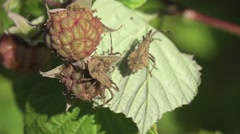 Assassin bug beetle Shield bugs macro HD - stock footage