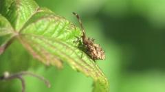 Stock Video Footage of Assassin bug beetle Shield bugs macro HD