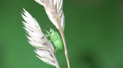 Pentatomidae beetle Shield bugs macro HD Stock Footage