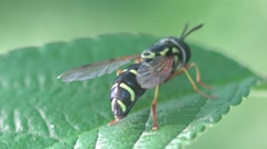 Young wasp sits on green grass, HD Stock Footage