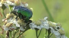 Scarab beetle on flower, HD Stock Footage