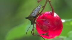 Pentatomidae beetle in Berries currants home macro garden HD Stock Footage