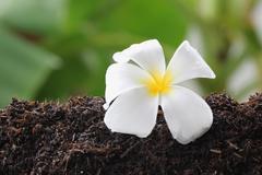 Stock Photo of white frangipani on ground.