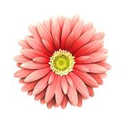 pink daisy flower isolated - 3d render - stock photo