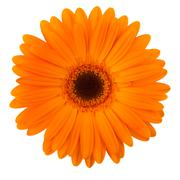 Orange daisy flower isolated on white Stock Photos