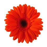 red daisy flower isolated - stock photo
