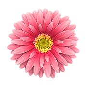 pink daisy flower isolated on white - 3d render - stock photo