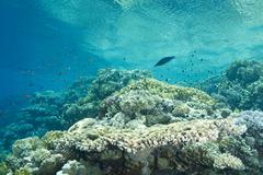 Stock Photo of a pristine tropical table coral reef in shallow water.
