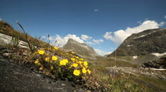 Wild Flowers in high mountain view Norway Stock Footage