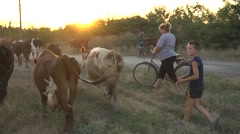 People chase cows home from the pasture in evening Stock Footage