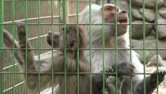 Ultra HD 4K Monkey Family in Captivity at Zoo, Baby Ape, Hamadryas Baboon Stock Footage