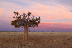 Quiver tree Stock Photos