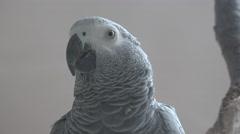 Ultra HD 4K Africa Grey Parrot, Portrait of a Congo Bird, Closeup Stock Footage