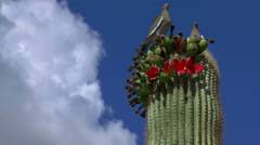 Doves Perch Atop Blooming Saguaro Cactus Stock Footage