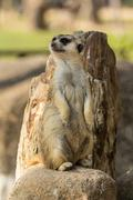 Alert meerkat standing on guard Stock Photos
