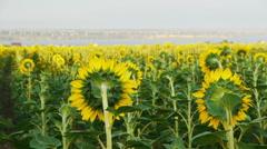 Beautiful landscape of sunflower field, DoF - stock footage